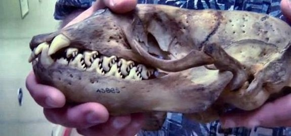 What Animal Does This Skull Belong to ?