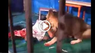 أسد جائع يحاول إلتهام مدربه في أحد حدائق الحيوان .