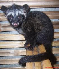 Kopi Luwak, Timor Leste, Filipina, Vietnam, Sepesis Musang,