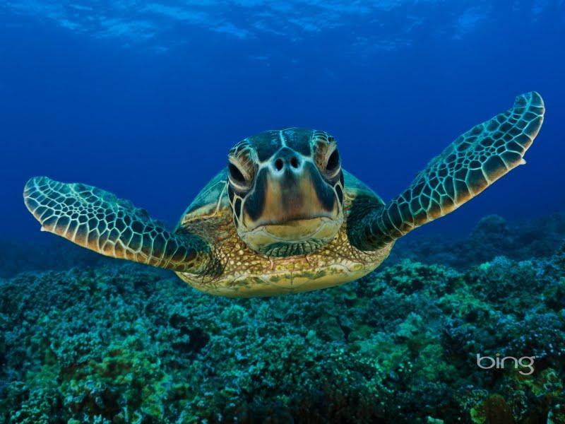 sea turtle wallpaper. Green Sea Turtle Wallpapers,