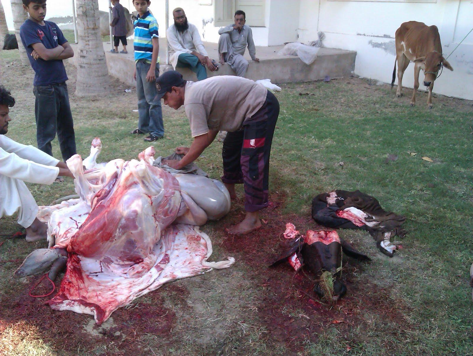 Camel Qurbani 2013,Bakra Eid,Cow Sacrifice,Eid-ul-Azha ...