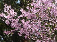 鐘楼の外れにオカメ桜