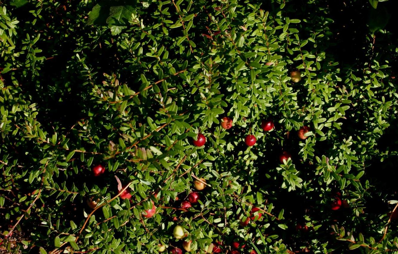 Клюква садовая : посадка и уход на дачном участке 50