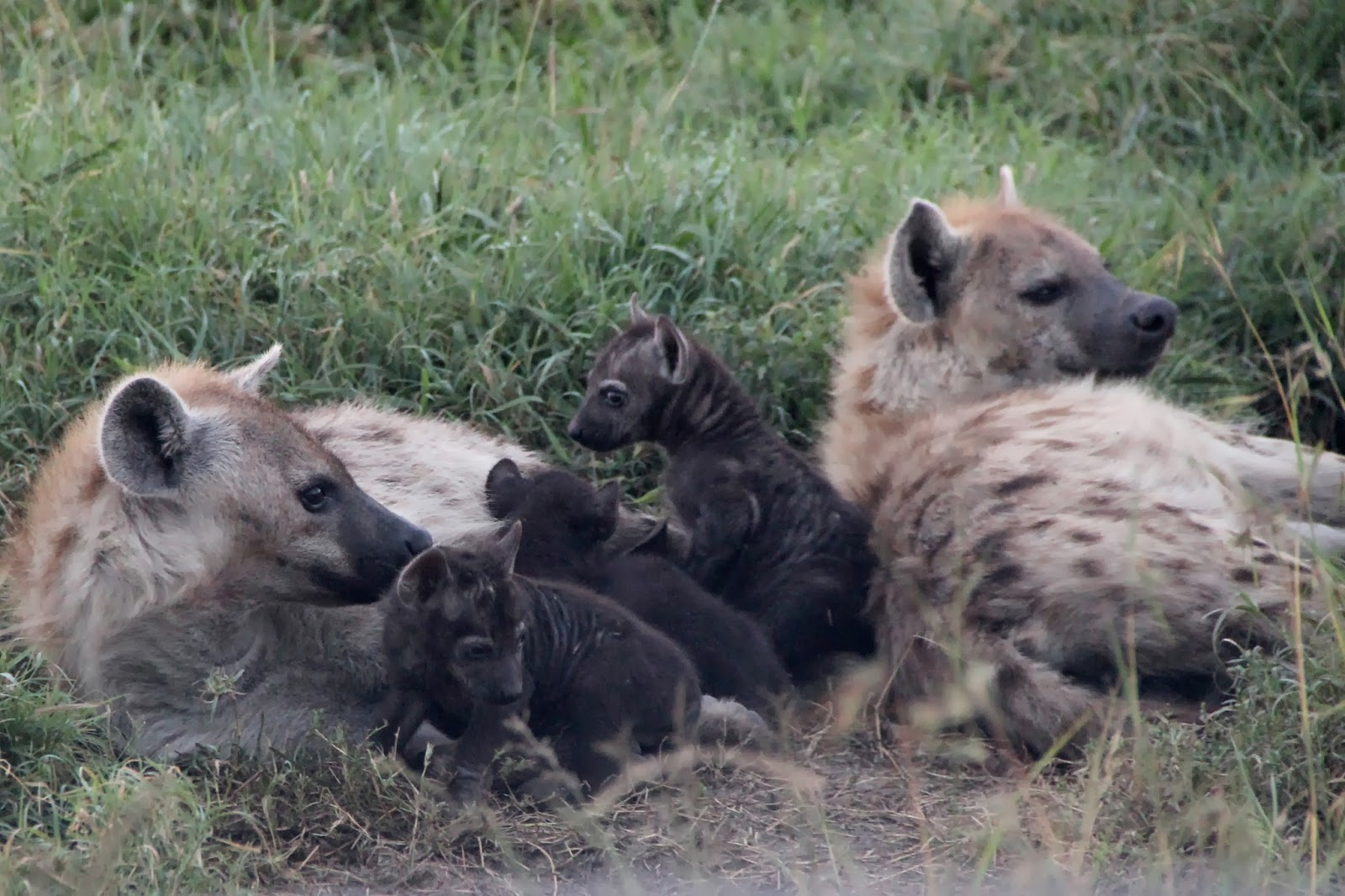 Notes From Kenya: MSU Hyena Research: Teen Moms and Koi\'s Female Army
