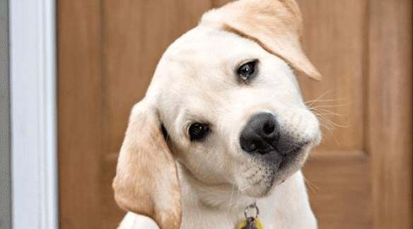 why do dogs tilt their head