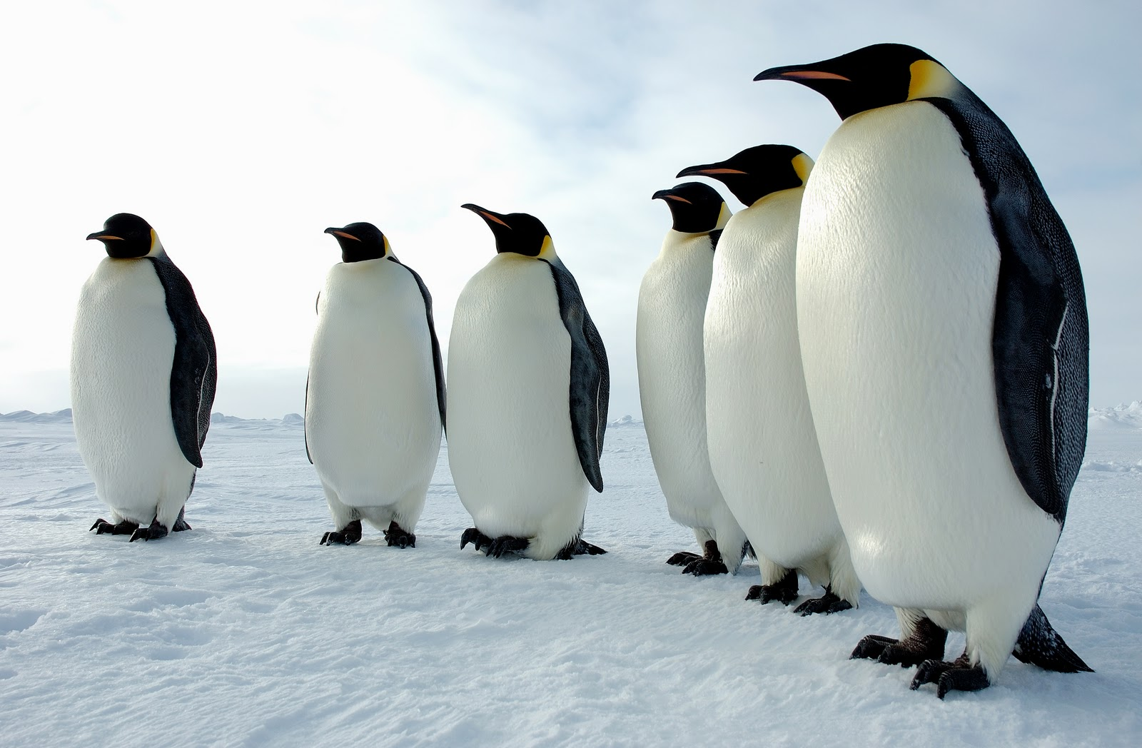 penguinsworldcom  Penguin Facts and Information