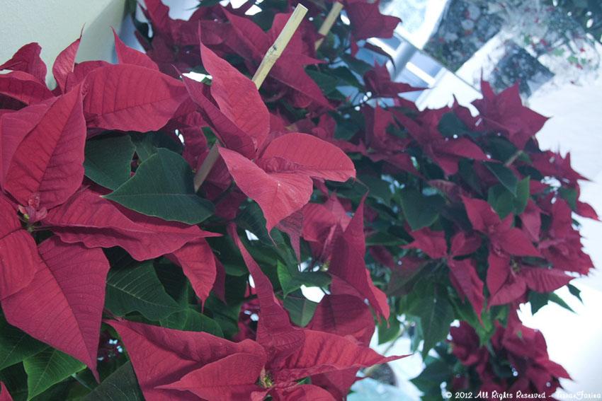 Stella Di Natale Appassita.Terra E Farina Stella Di Natale Euphorbia Pulcherrima