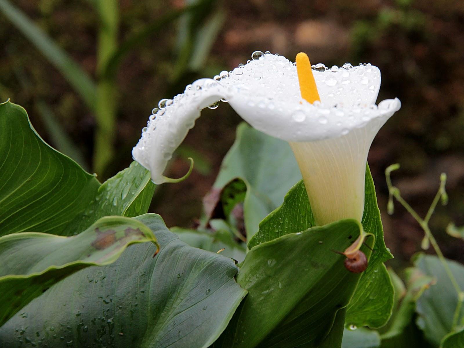 Zantedeschia aethiopica calla aethiopica arum lily calla lily zantedeschia aethiopica calla aethiopica arum lily calla lily izmirmasajfo