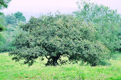 Árbol de ahuacates en el rancho (Paisajes de Veracruz)