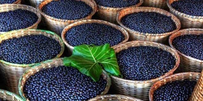 Zbiór jagód acai w Brazylii