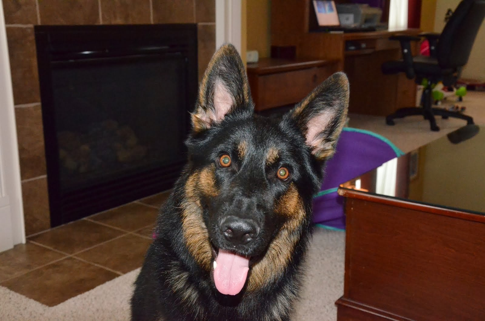 Our German Shepherd