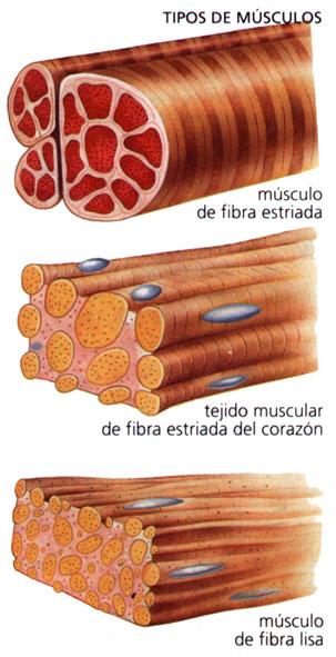 Función del sistema muscular