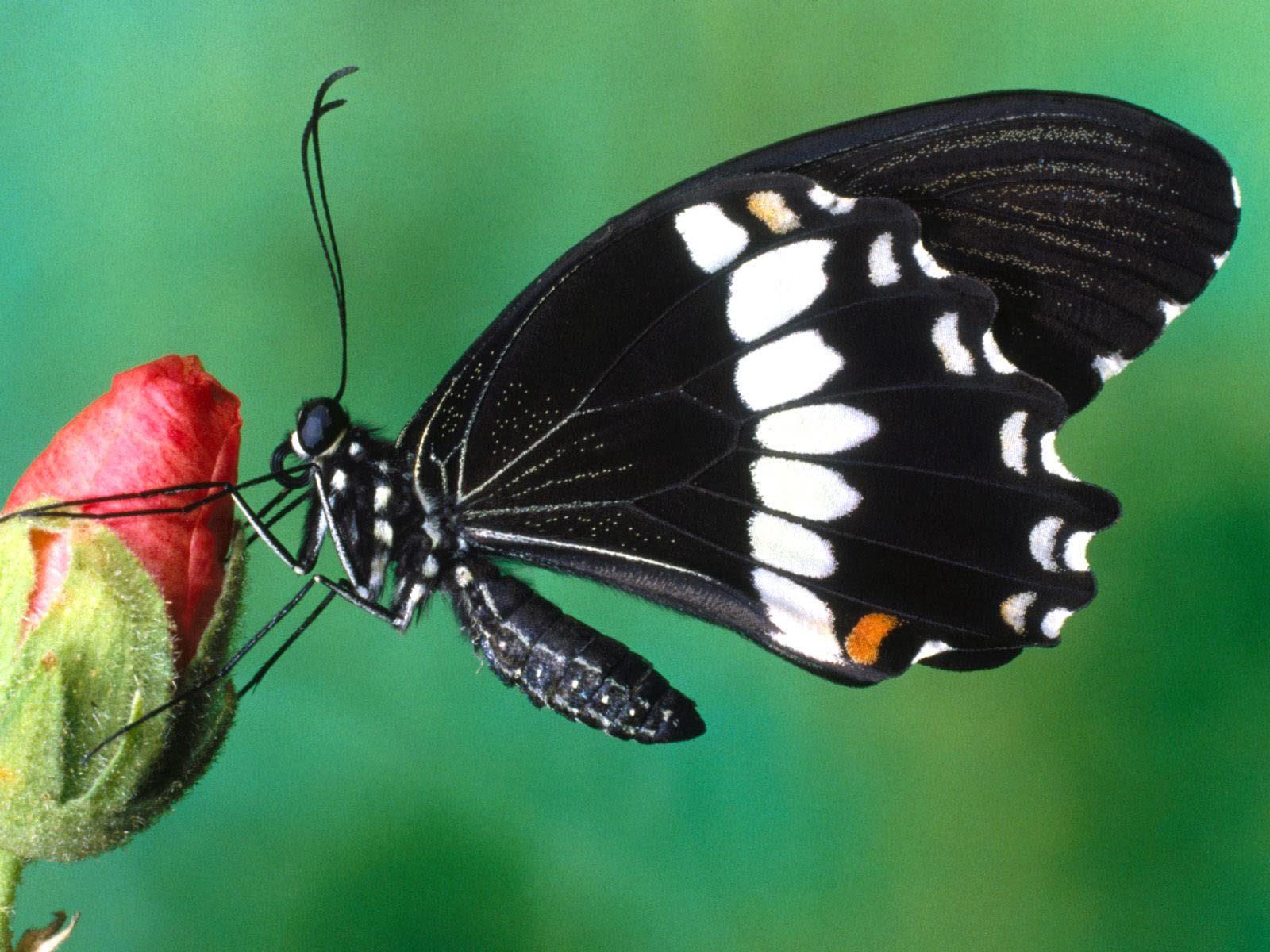 Keywords: Butterfly Wallpapers, Butterfly DesktopWallpapers, Butterfly