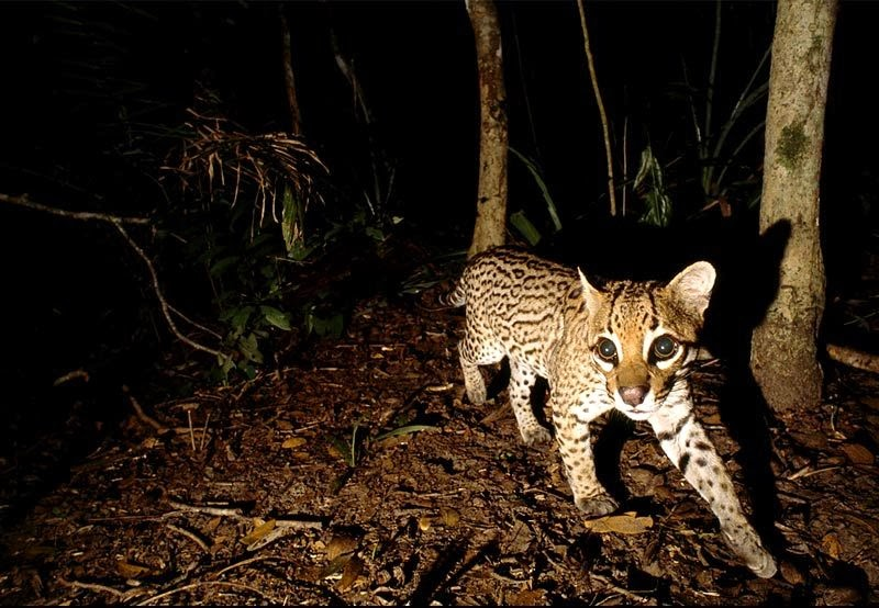 The Jungle Store Night Hunting Ocelots