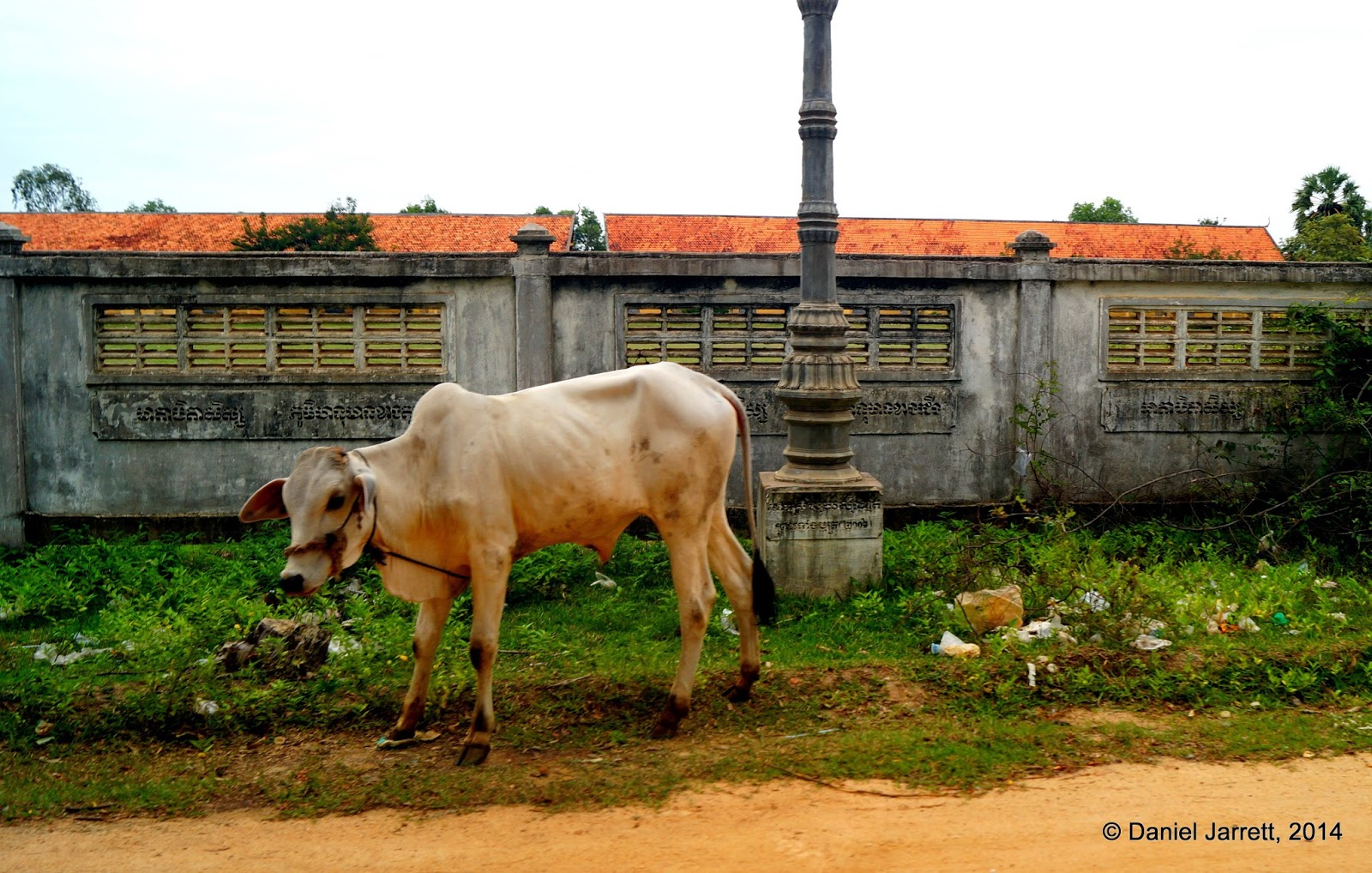 Cow on the road, Cambodia