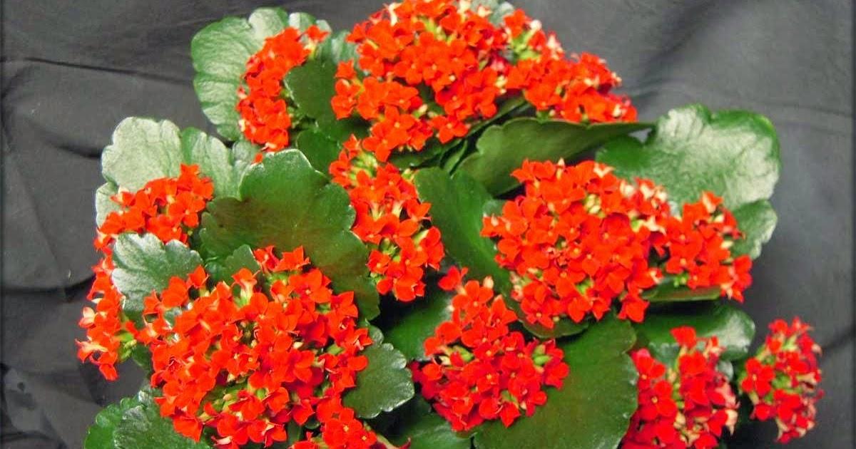 Savjeti za uzgoj kalanhoe - Moj Vrt Cvijeća