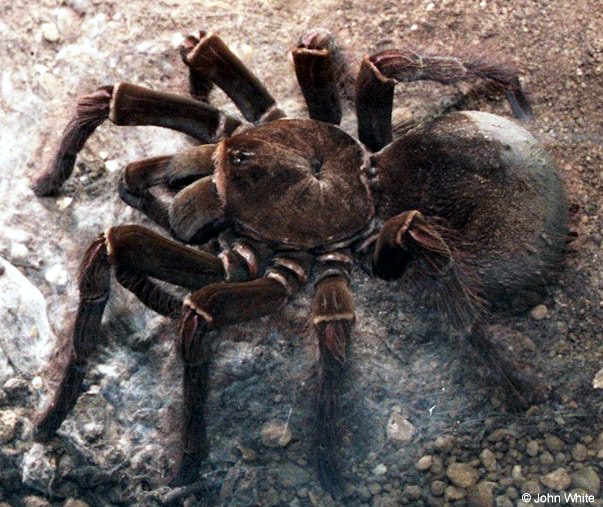 The Biggest Spider In The World