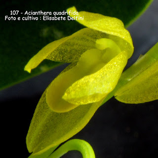 Pleurothallis  quadrifida  do blogdabeteorquideas