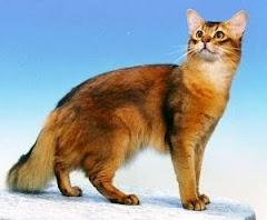 somalie cat