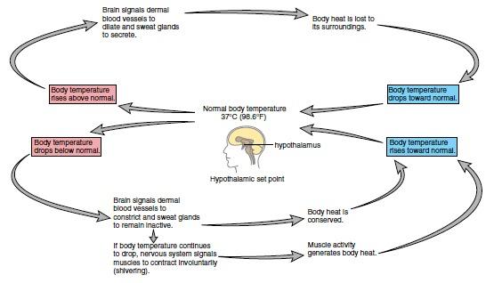 Regulation of body temperature medicine hack ccuart Images