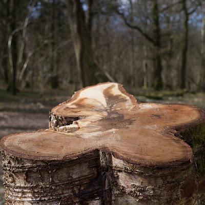 Quatrefoil Stump © Graham Dew 2013