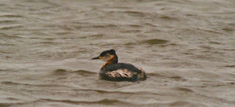 RED NECKED GREBE-FRODSHAM MARSHES-19TH MARCH 1997