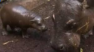 Un bébé hippopotame pygmée fait ses premiers pas au zoo de Melbourne