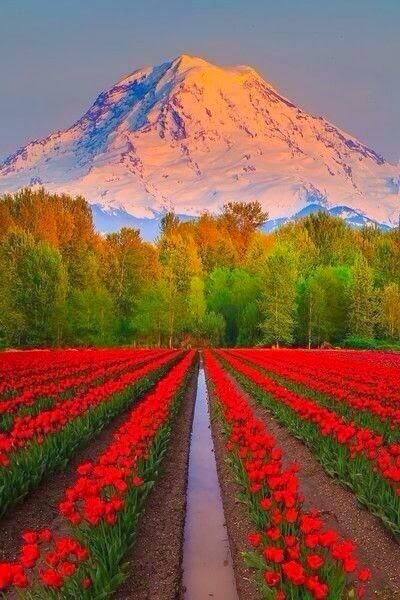 Tulip fields ~ Mount Rainier, Washington