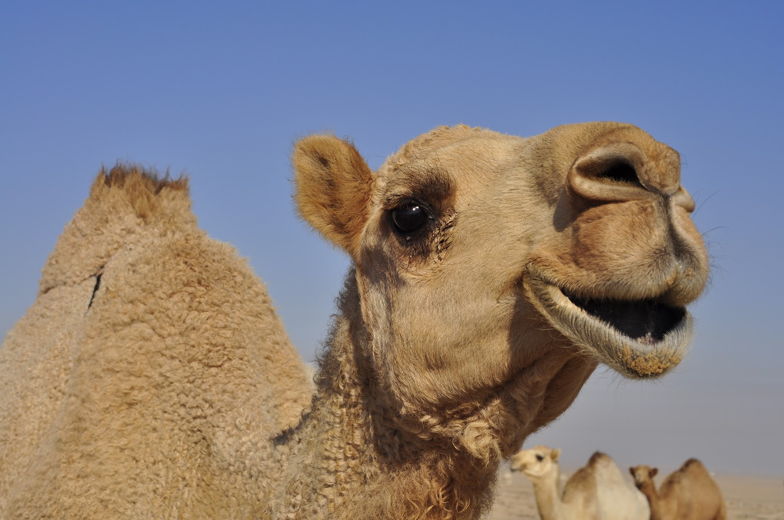 camels with funny faces quotes quotesgram
