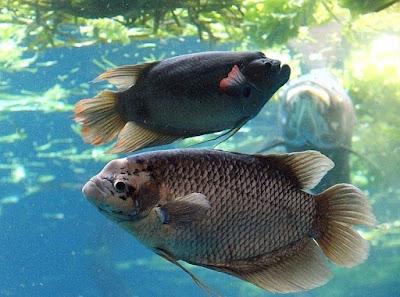 Ikan Gurame atau Ikan Kaloi