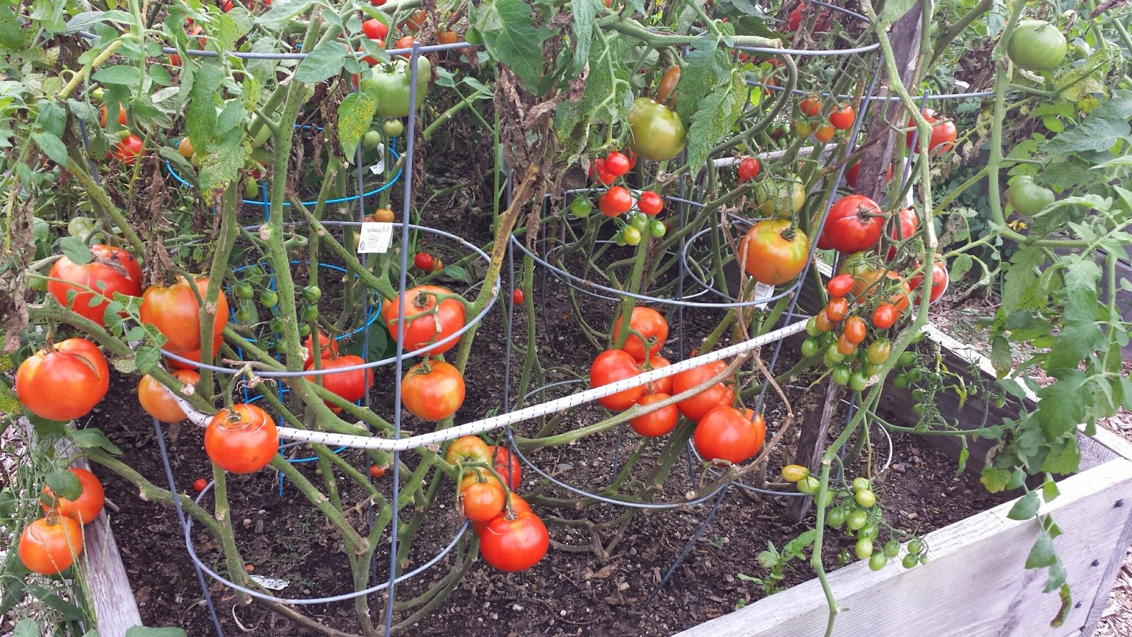 tomatoes at one of the Community Garden plots