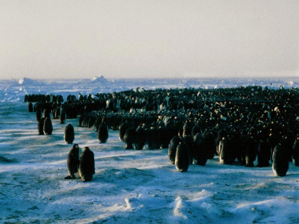 http://en.wikipedia.org/wiki/Emperor_penguin