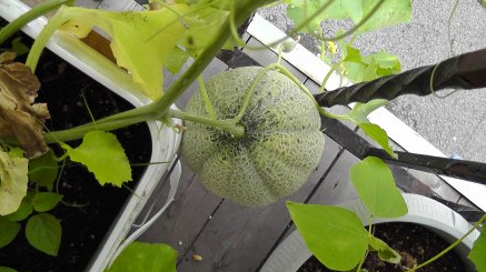 Выращивание арбузов на балконе 2
