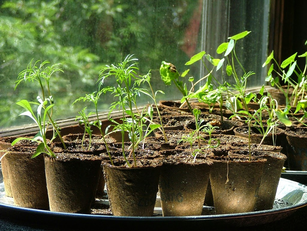 Jeffco Gardener Starting Seeds Indoors By Donna Duffy