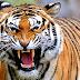 Dikira Punah, Harimau Sumatera Masih Berkeliaran di TNBG Sumut