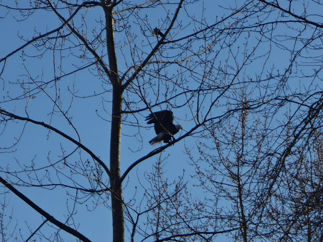 bald eagle in vancouver