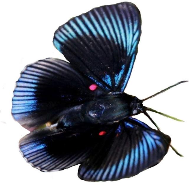 Borboleta Lyropteryx