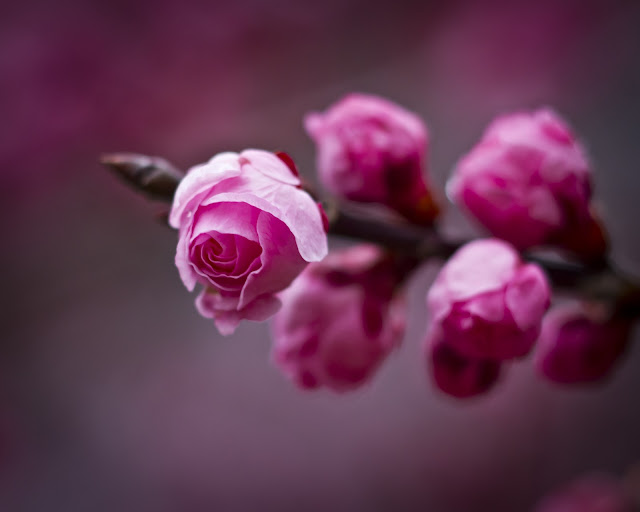 Pink Roses Tree Branch Close Up Photo HD Wallpaper