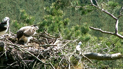 Female osprey feeds chicks