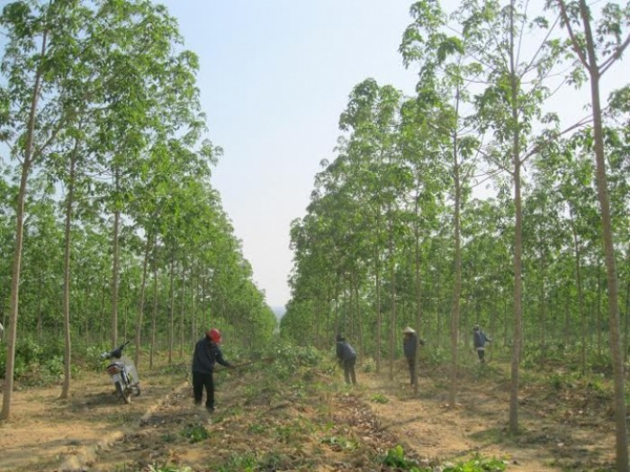 Gia Lai: Khởi tố bắt giam nguyên Giám đốc triệt hạ rừng để trồng cao su ngoài vùng dự án
