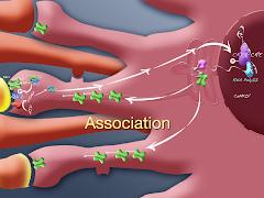 Neuroplasticity 2: l-LTP