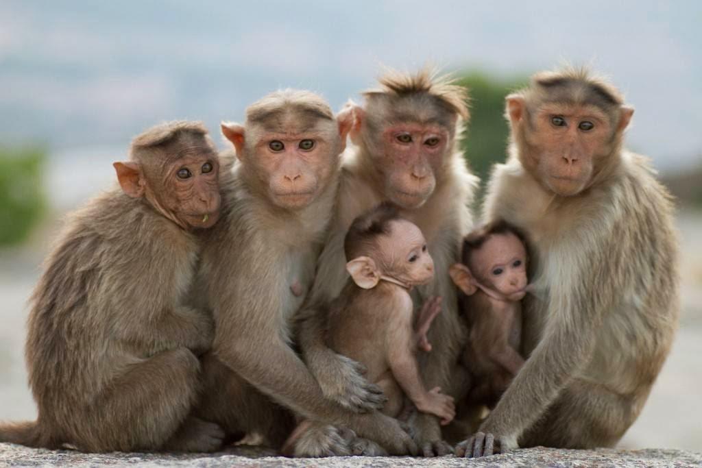 القردة تعيق ثورة المعلومات بالهند