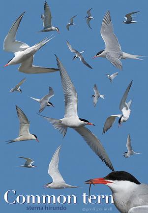 FYLDE BIRD CLUB