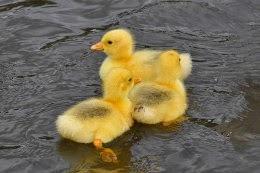 Embden Geese Goslings on Bingley Canal
