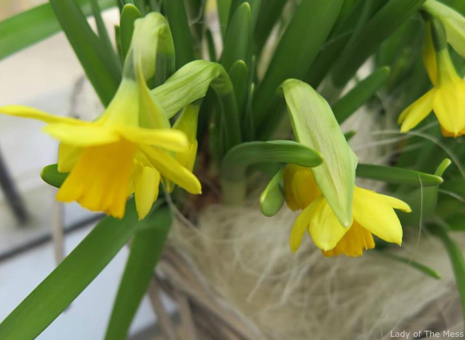 kevät, narsissit, daffodils, spring