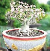 cara menanam adenium dari biji, cara menanam adenium dari batang dalam pot