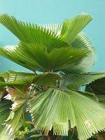 Palem kipas (Livistona sp.)