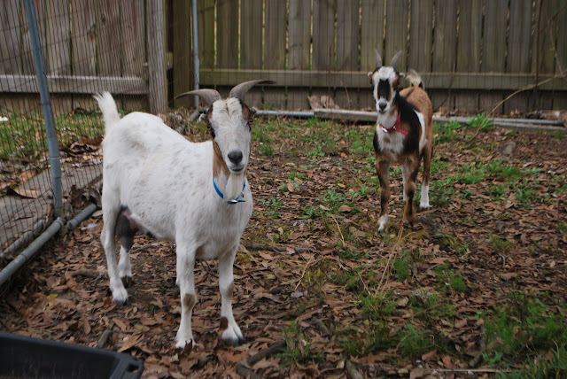 Hightail Farms Getting Our Goats