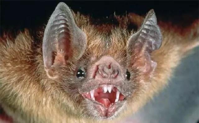 Είδος νυχτερίδας-βαμπίρ άρχισε να τρέφεται για πρώτη φορά με αίμα ανθρώπων