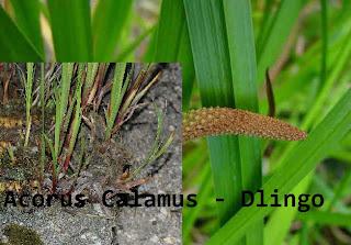 Tanaman obat Acorus Calamus atau Dlingo/ Sweet roof